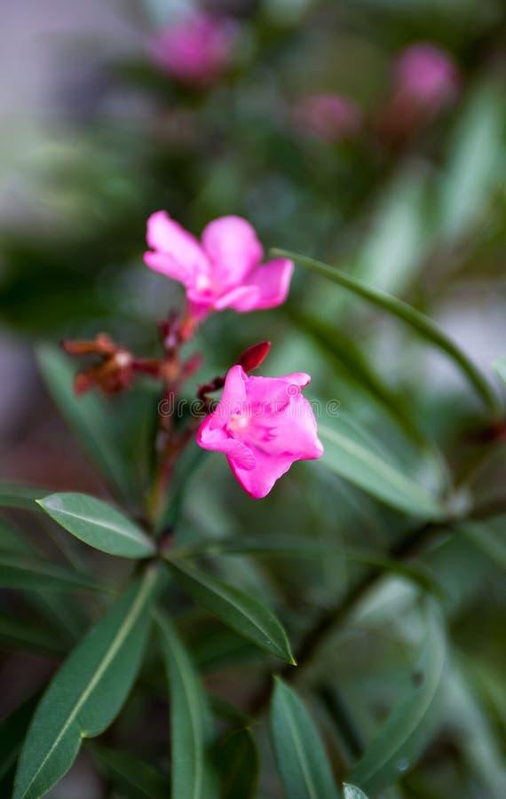 Flores y brotes del rosa del adelfa del Nerium fotografía de archivo libre de regalías