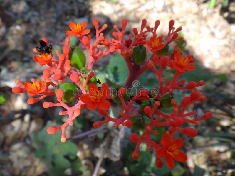 Flores y cápsula explosiva de la fruta de la dehiscencia de jatropha con el insecto fotos de archivo libres de regalías