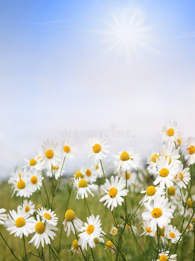 Flores y cielo azul con las nubes, ingenio floral de la manzanilla del fondo imágenes de archivo libres de regalías