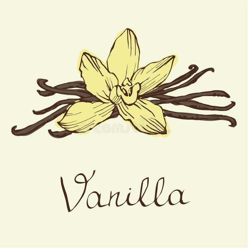 Flores y habas hermosas de la vainilla Dé el ejemplo exhausto del vector de los bosquejos en el fondo blanco en estilo del vintag libre illustration