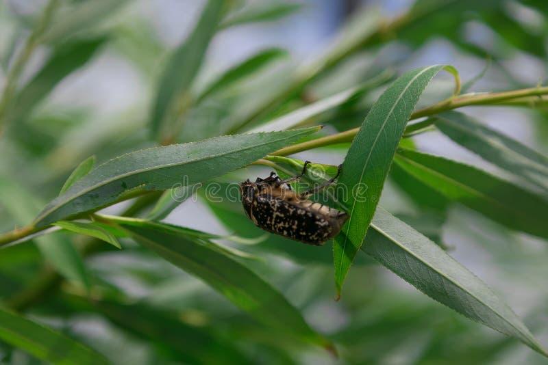 Flores y hoja de los árboles del verano del escarabajo imagenes de archivo