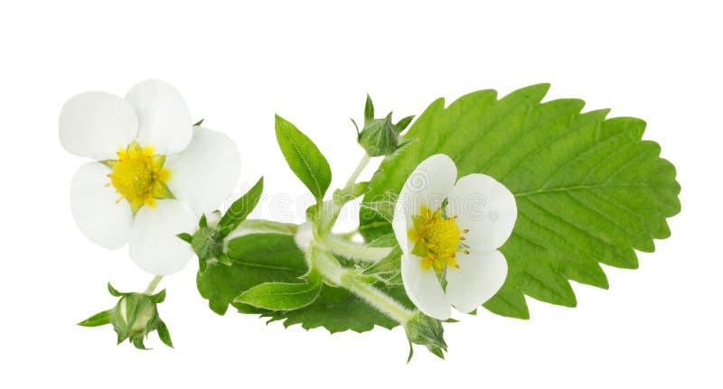 Flores y hojas de la fresa aisladas en el fondo blanco imagen de archivo