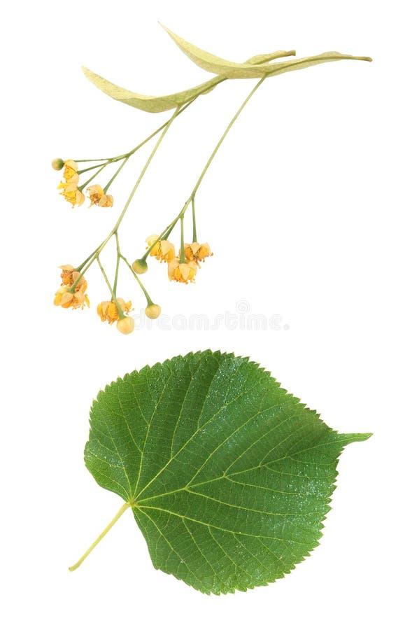Flores y hojas del tilo imagen de archivo libre de regalías