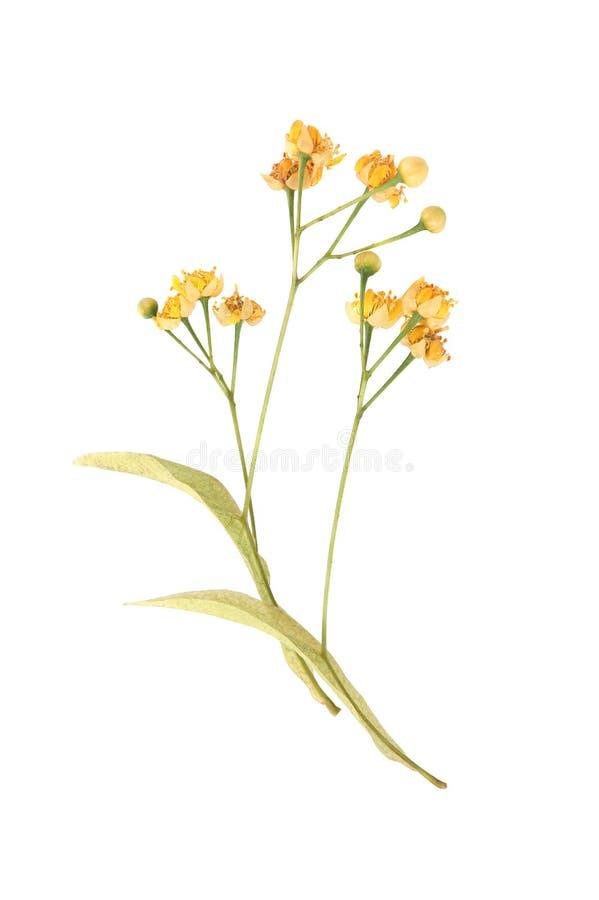 Flores y hojas del tilo foto de archivo libre de regalías