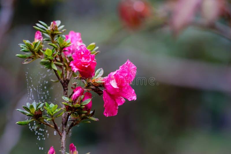 Flores y hojas rosadas hermosas del verde de un arbusto que es bañado imágenes de archivo libres de regalías