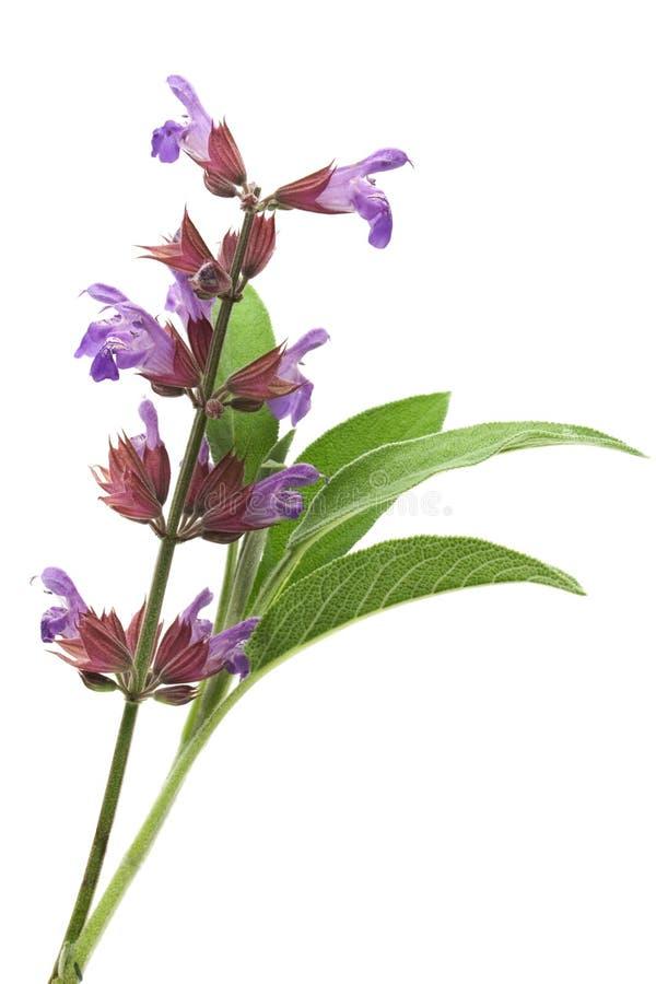 Flores y hojas sabias foto de archivo libre de regalías