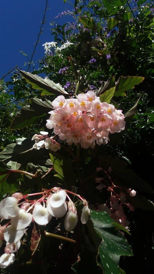 Flores y jazmín de la begonia con el cielo azul imagenes de archivo