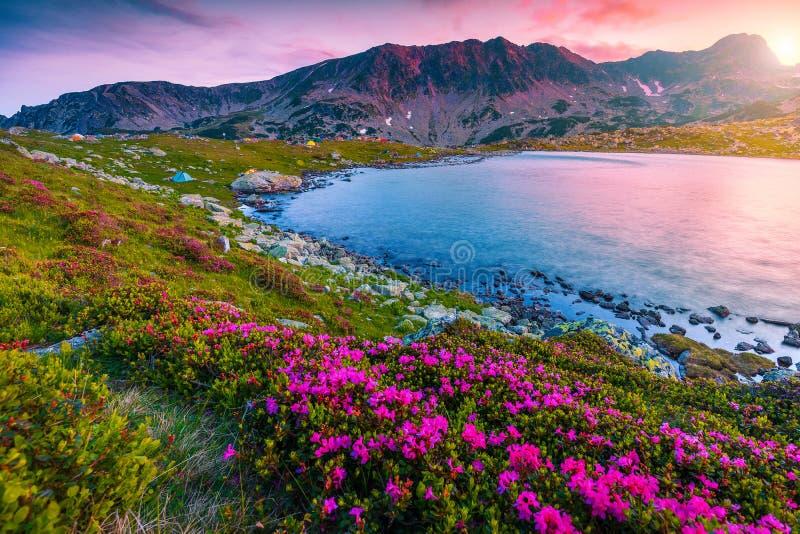 Flores y lago rosados en la puesta del sol, montañas del rododendro Bucura de Retezat fotos de archivo
