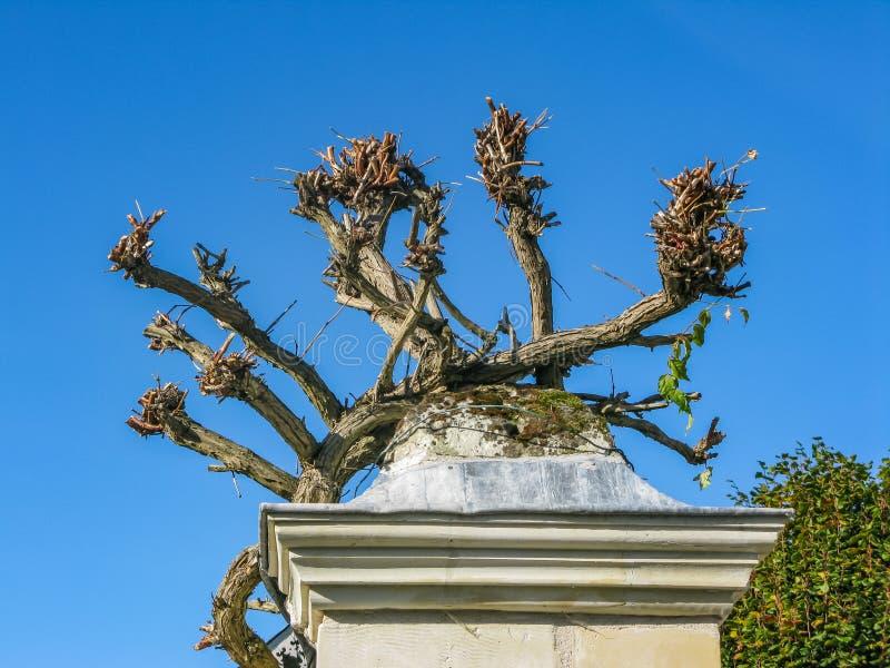 Flores y lanzamientos de las uvas que crecen encima de la columna en el Loira imágenes de archivo libres de regalías