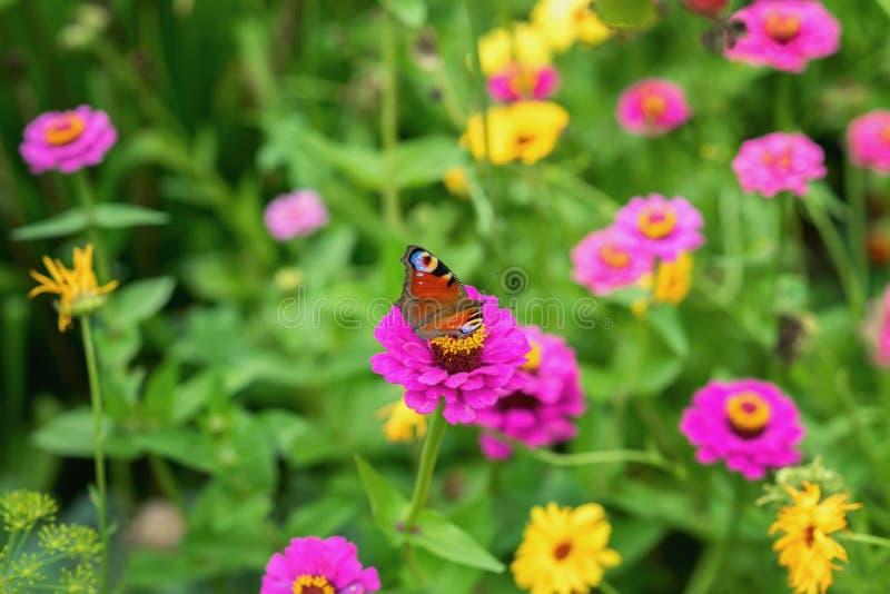 Flores y mariposa de pavo real brillantes salvajes, prado en el verano, día soleado Fondo colorido pintoresco imagen de archivo