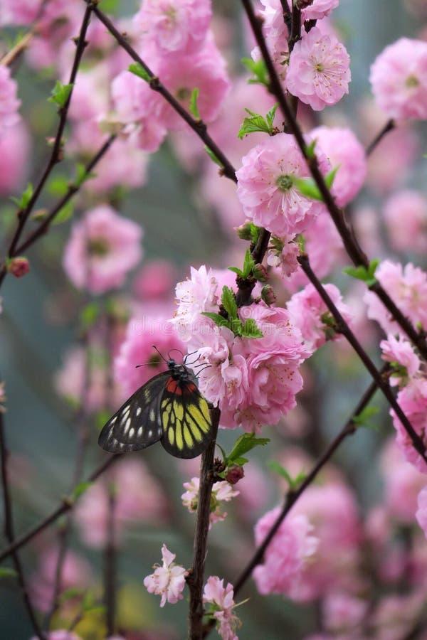 Flores y mariposa rosados del melocotón en ¶ del  del è del  de Šè del  del ƒèŠ±å del ¡del æ del ² del ‰ del è del ‰ del ² del imagen de archivo