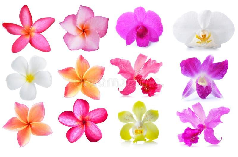 Flores y orquídea del Plumeria aisladas en el fondo blanco imagen de archivo