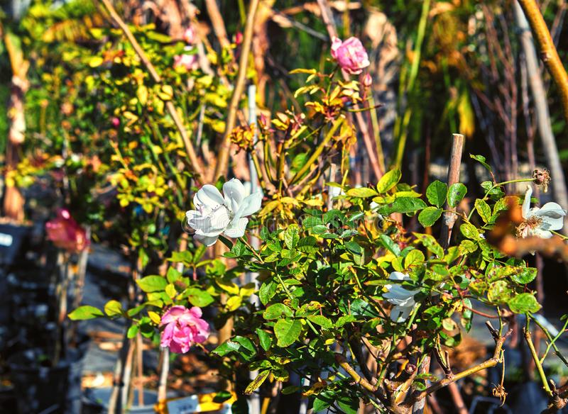 Flores y plantas interiores en el invernadero en invierno imagenes de archivo