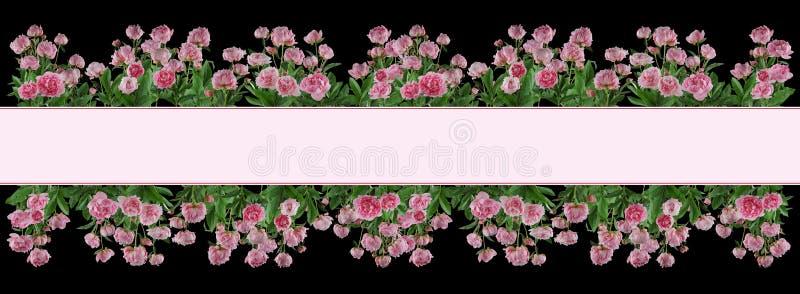 Flores y plantas rosadas llenas hermosas de las peonías aisladas fotografía de archivo