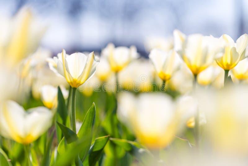 Flores y prado del primer del verano Paisaje brillante Fondo inspirado de la bandera de la naturaleza fotografía de archivo libre de regalías