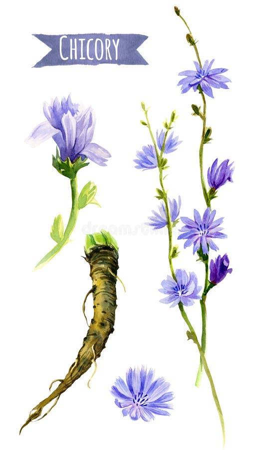 Flores y raíces, ejemplo de la achicoria de la acuarela con el recortes libre illustration