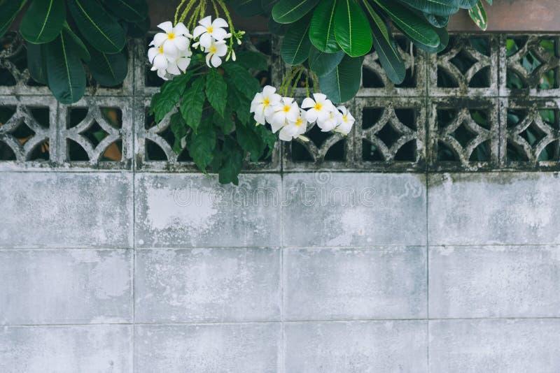 Flores y rama de Plumaria sobre una pared de ladrillo blanca vieja foto de archivo