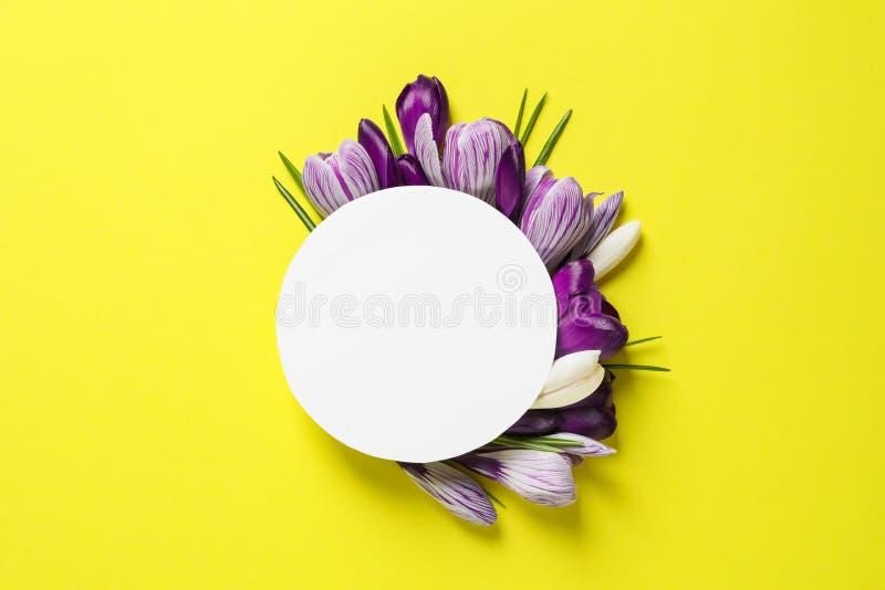 Flores y tarjeta hermosas del azafrán de la primavera en el fondo del color, endecha plana imagen de archivo libre de regalías
