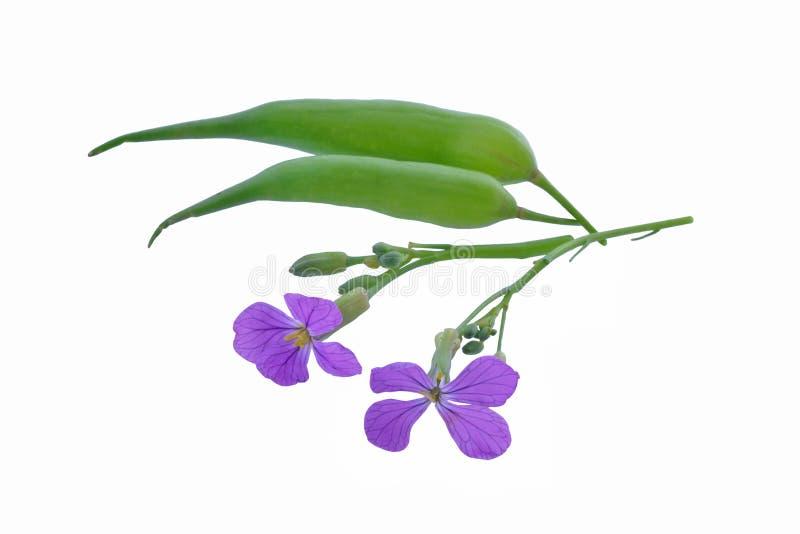 Flores y vainas del rábano salvaje imagenes de archivo