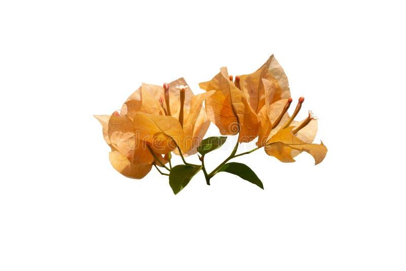 Florescência alaranjada bonita da buganvília da flor isolada no fundo branco foto de stock royalty free