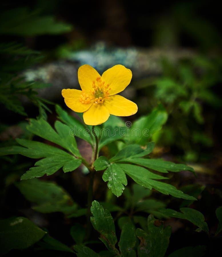 Florescência amarela da anêmona de madeira imagens de stock royalty free