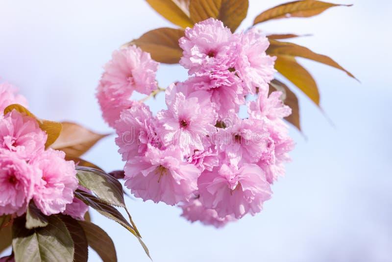 Florescência bonita - cereja japonesa de florescência fotografia de stock royalty free