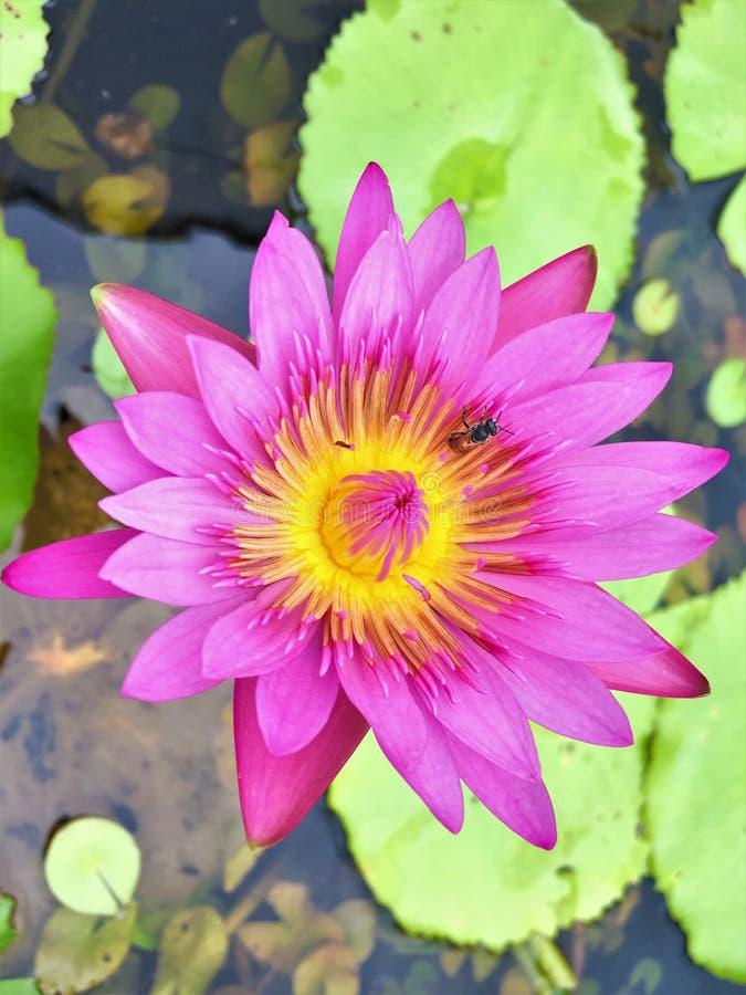 Florescência bonita da flor e da abelha de lótus dos lilyNymphaeaceae da água fotos de stock royalty free