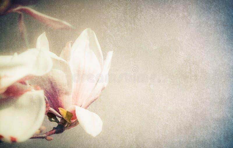 Florescência bonita das flores da magnólia, retro imagens de stock