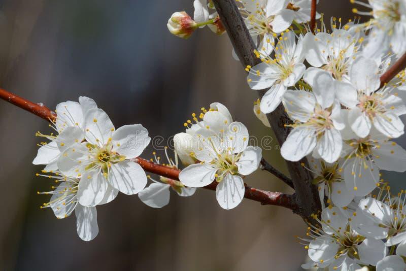 Florescência branca das flores da ameixa de cereja da mola imagem de stock royalty free