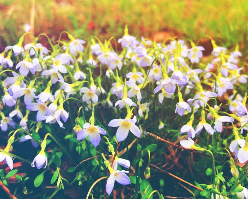 Florescência branca das flores dos lírios da chuva imagens de stock