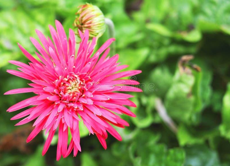 Florescência completa da flor do rosa no jardim fotos de stock royalty free