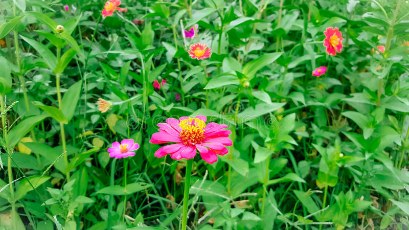 Florescência cor-de-rosa da flor do Zinnia foto de stock royalty free