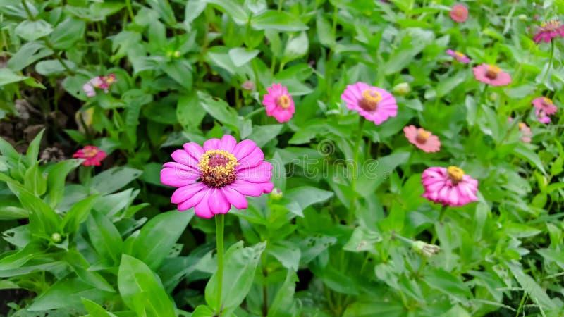 Florescência cor-de-rosa da flor do Zinnia fotografia de stock