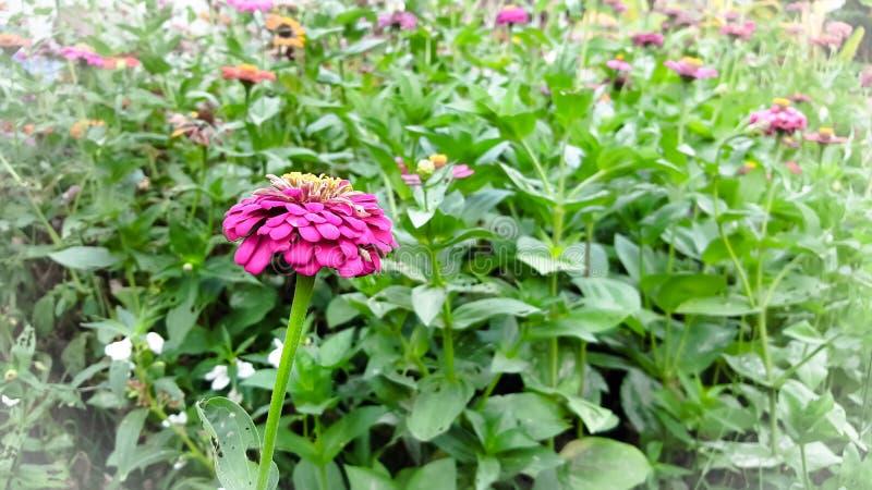 Florescência cor-de-rosa da flor do Zinnia imagem de stock