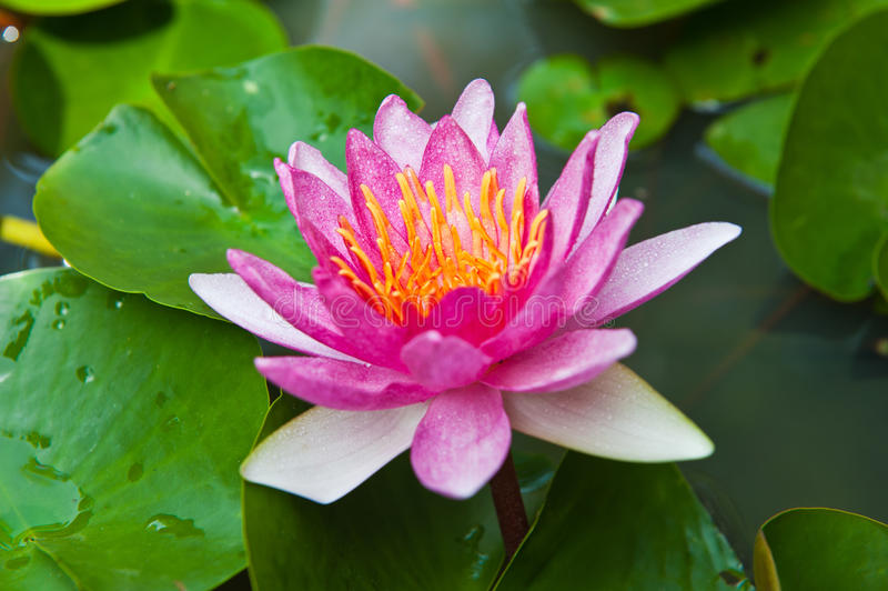 Florescência cor-de-rosa dos lótus imagem de stock royalty free
