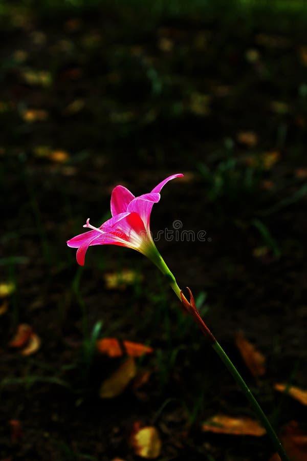 Florescência cor-de-rosa grandiflora de Zephyranthes na natureza fotografia de stock
