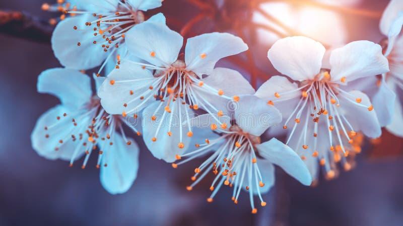Florescência da árvore de cereja imagem de stock