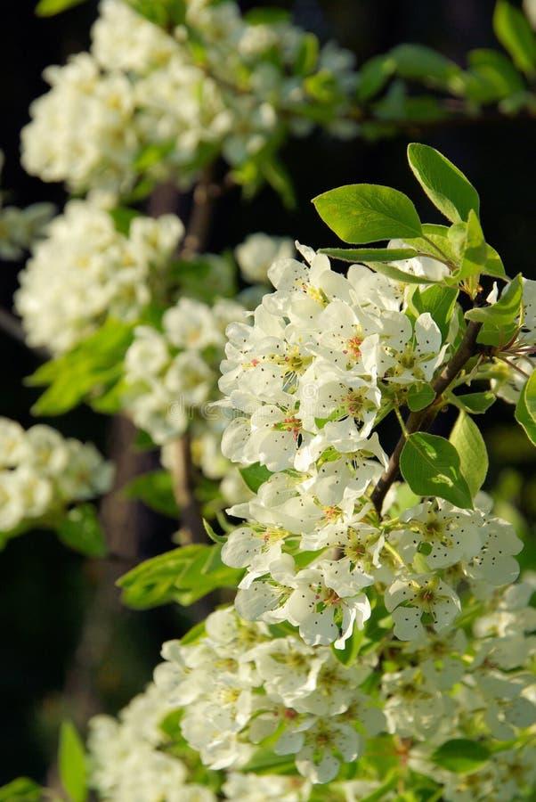 Florescência da árvore de pera imagem de stock royalty free