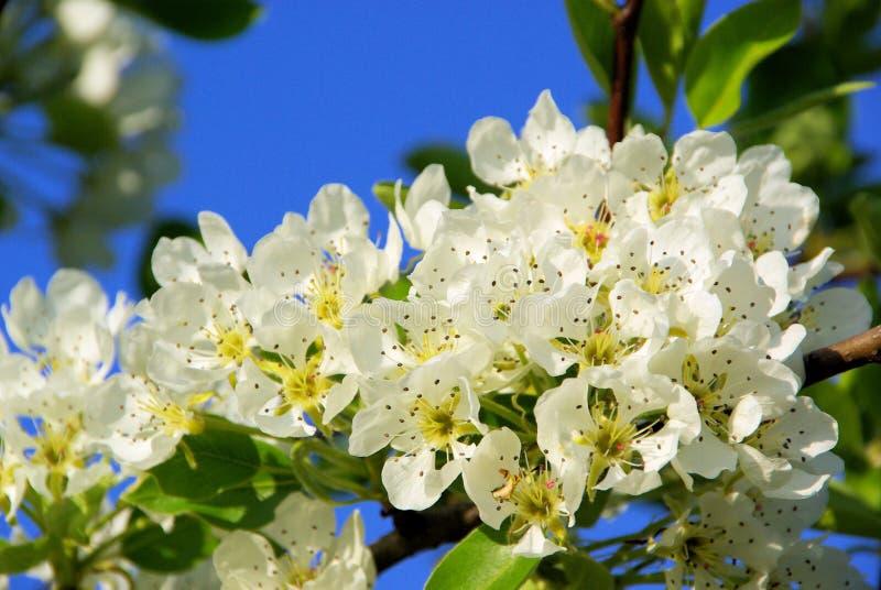 Florescência da árvore de pera imagens de stock