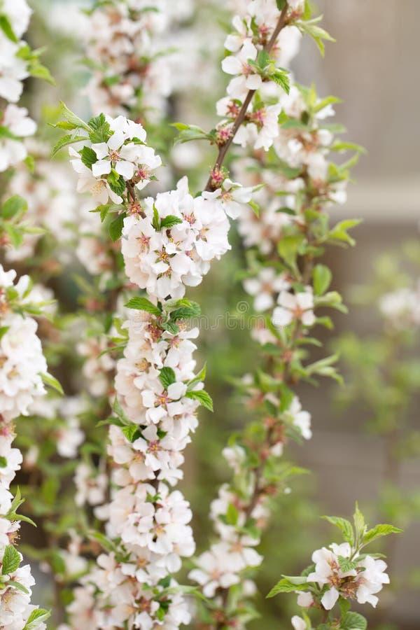 Florescência da cereja felted foto de stock