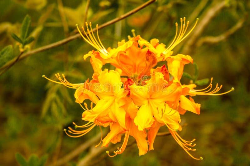Florescência da flor das azáleas de Florida (rododendro Austrinum) fotos de stock