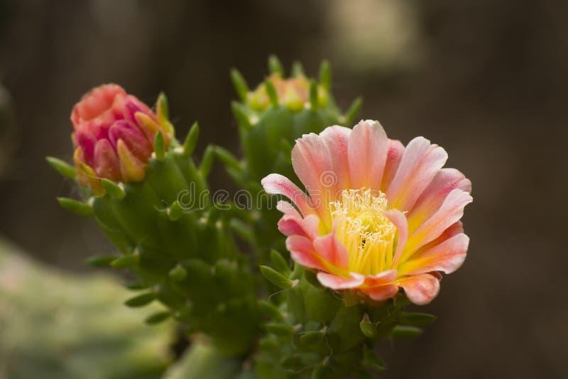 Florescência da flor do cacto imagem de stock royalty free