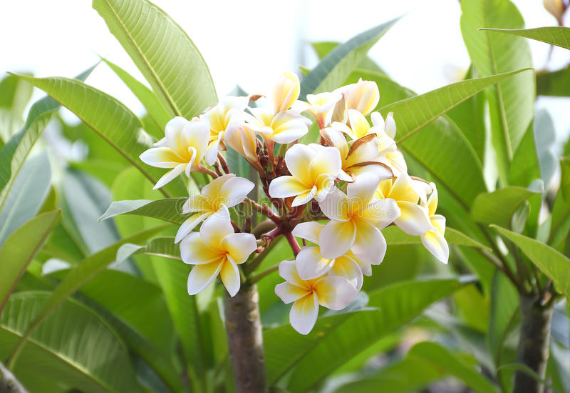 Florescência da flor do Frangipani (plumeria) foto de stock