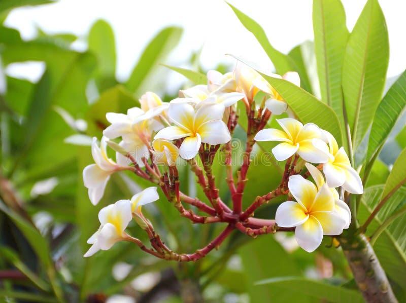 Florescência da flor do Frangipani (plumeria) imagens de stock