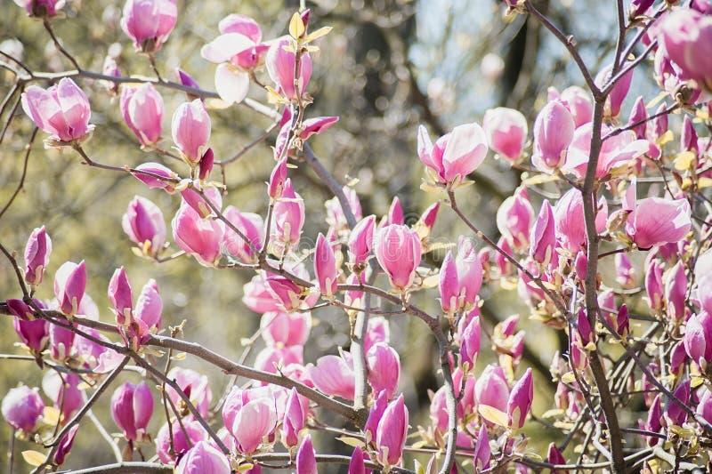 A florescência da magnólia cor-de-rosa floresce no tempo de mola, fundo sazonal floral foto de stock