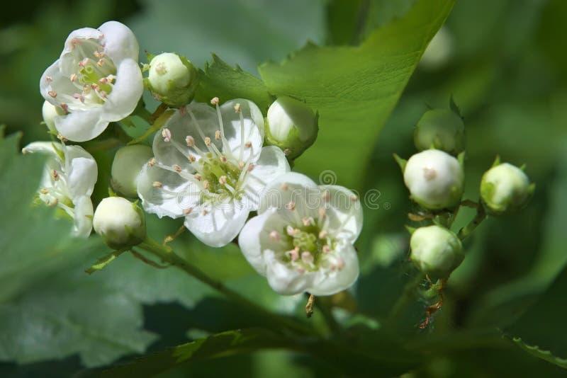 Florescência da mola da filial selvagem da maçã-árvore fotografia de stock