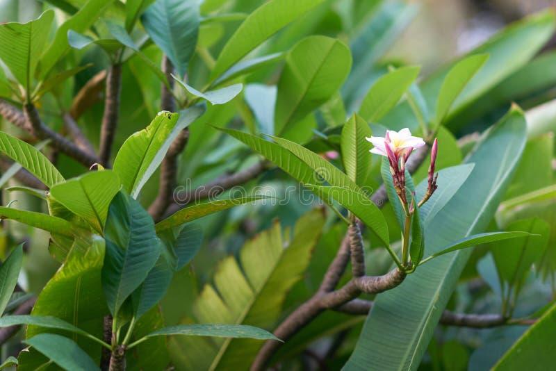 Florescência da orquídea cor-de-rosa, branca em ramos das folhas do verde e do b foto de stock royalty free