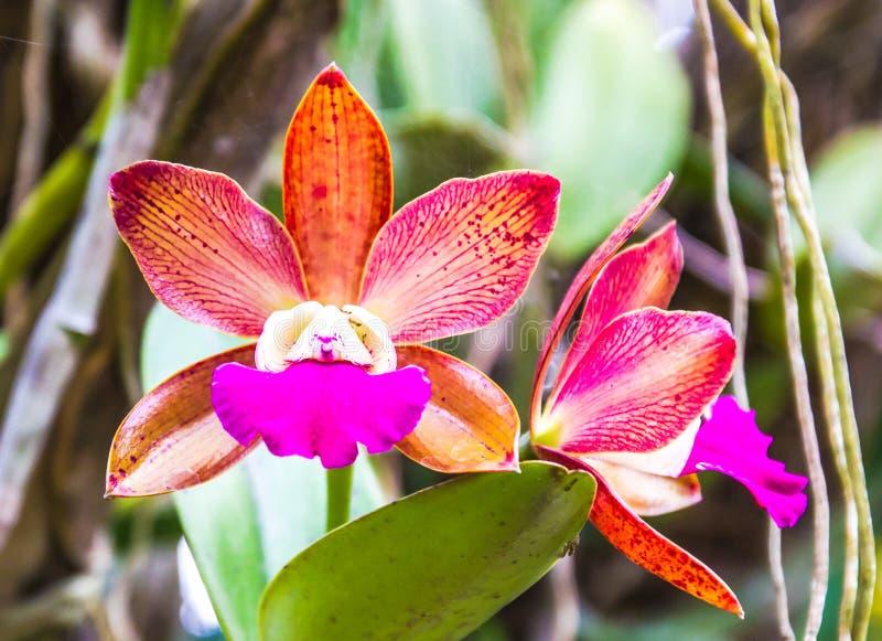 Florescência da orquídea de Cattleya imagem de stock