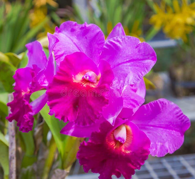 Florescência da orquídea de Cattleya fotos de stock
