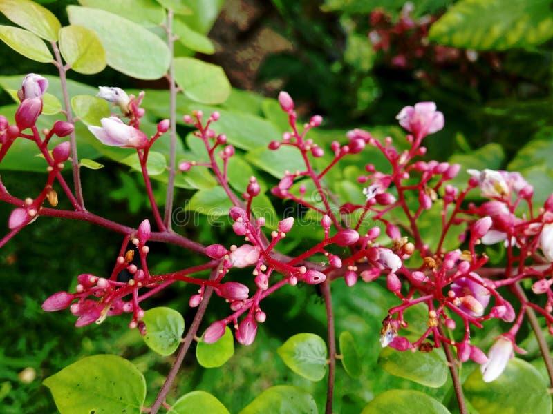 Florescência das flores de Starfruit fotos de stock royalty free